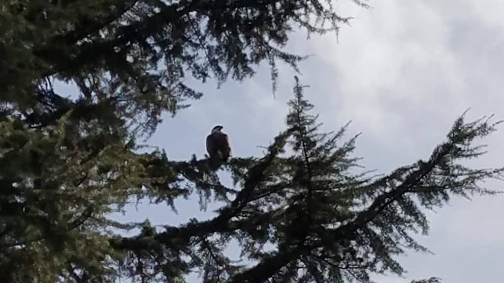 eagle in tree 2